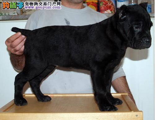 犬舍直销卡斯罗凶猛霸气最忠诚的护卫犬