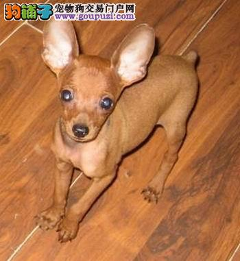 繁殖基地出售多种颜色的小鹿犬购犬可签协议
