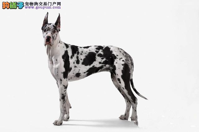 出售赛级大丹犬,CKU认证犬舍,签协议可送货