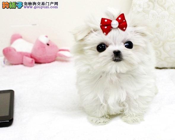 雍容华贵、美丽迷人的马尔济斯犬
