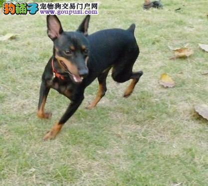 100%纯种健康的北京小鹿犬出售品相一流疫苗齐全