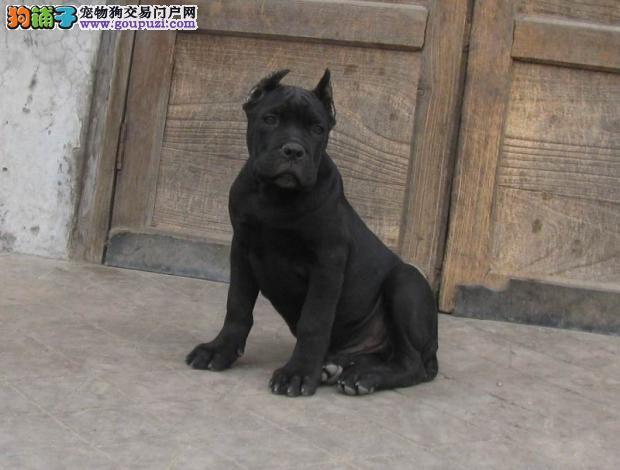高品质卡斯罗犬转让、精心繁育品质优良、专业信誉服务
