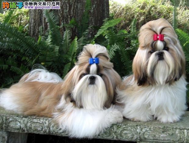 出售聪明伶俐南京西施犬品相极佳期待来电咨询