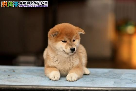精品纯种青岛柴犬出售质量三包品相一流疫苗齐全