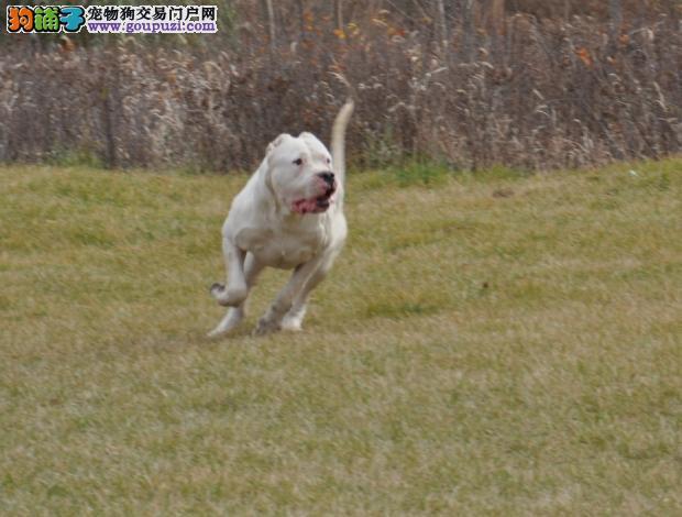 杜高犬聪明安静勇敢和无畏的,适合作为护卫犬