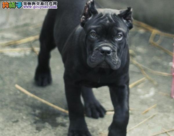 卡斯罗犬 不以价格惊天下 但以品质惊世人终身售后送货