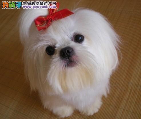 马尔济斯犬多少钱深圳哪里买的到好的马尔济斯狗狗