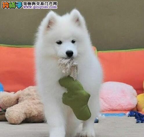 北京雪白萨摩耶犬特价出售中签协议看狗父母售后保障