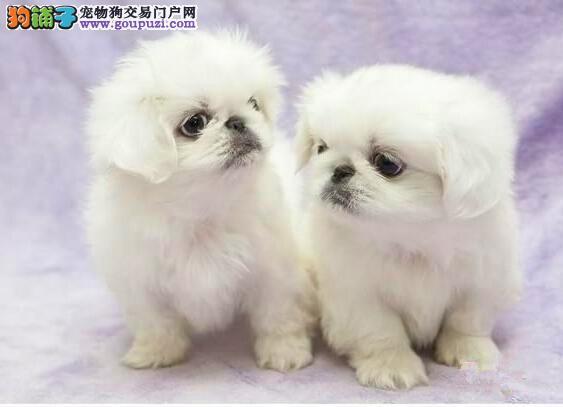犬舍直销品种纯正健康京巴微信咨询视频看狗