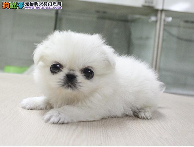 北京宠物宝贝出售高品质纯种正版京巴宝宝健康多只签协