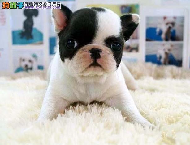 杭州自家繁殖法国斗牛犬出售公母都有真实照片视频挑选3