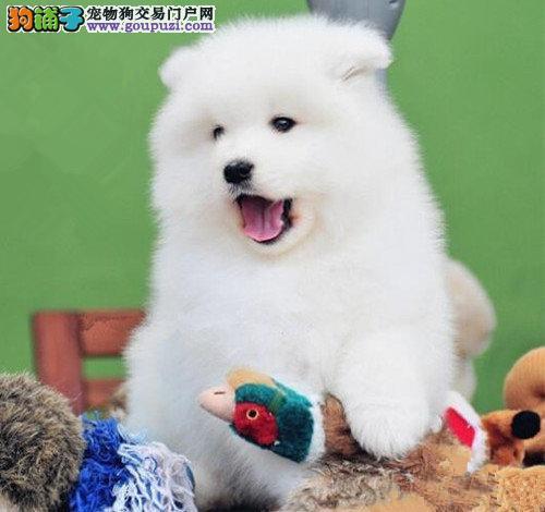 出售优秀微笑天使广州萨摩耶 有问题包退包换品质高