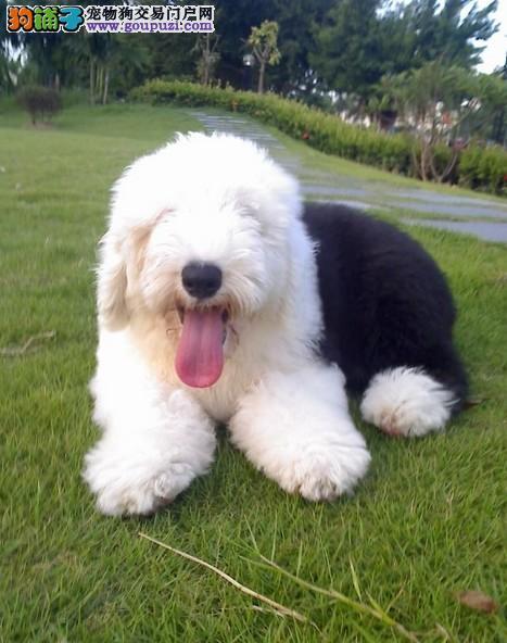 出售纯种古代牧羊幼犬 白头齐肩通背 纯种健康