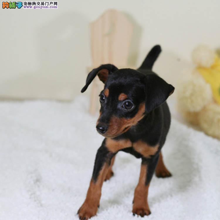 直销小鹿犬幼犬,专业繁殖包质量,签协议可送货
