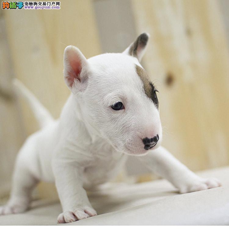 牛头梗幼犬 个性十足超弹头 健康有保欢迎上门选