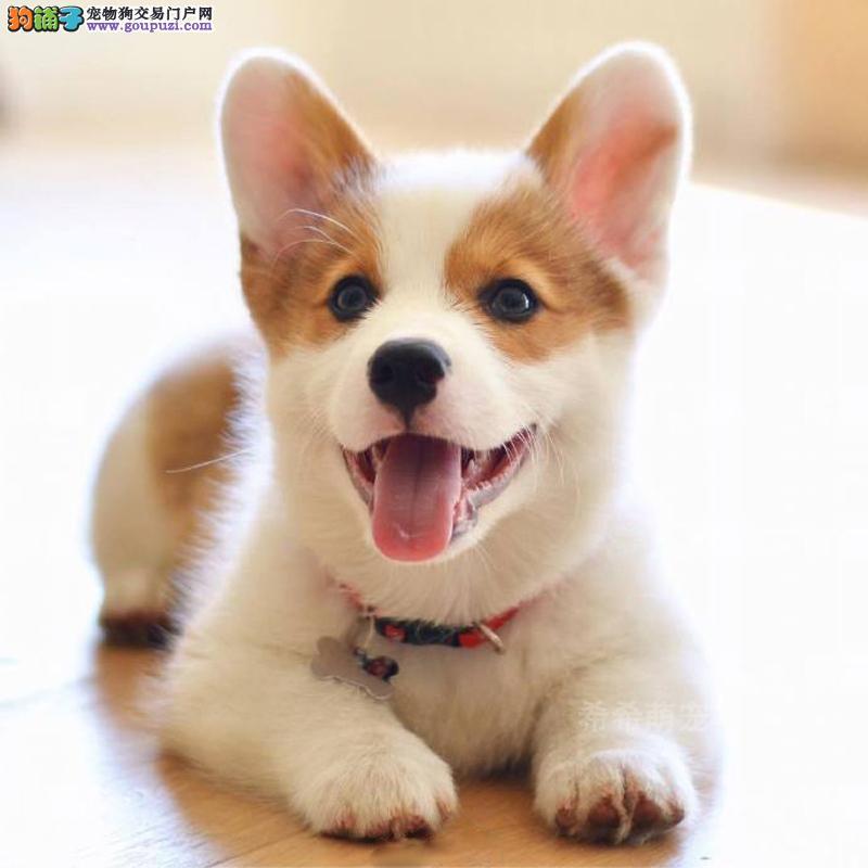 南京出售纯种柯基犬幼犬 售后保障犬舍直销价格合理