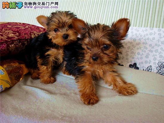 超小体约克夏幼犬可免费送货到家超萌可爱北京正规狗场