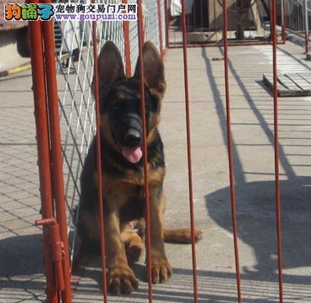 三明市出售狼狗 质保三年 全国包邮免运费 诚信经营