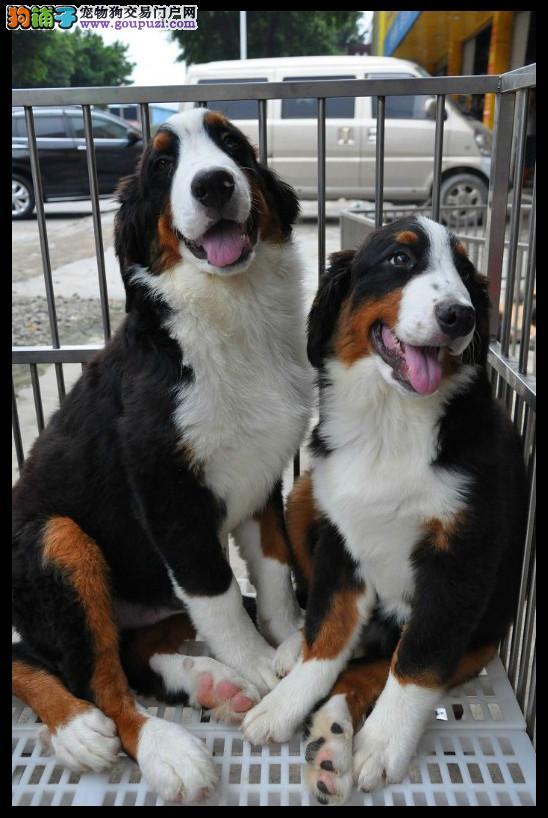 焦作狗场直销纯种伯恩山犬幼犬保健康纯种上门签协议