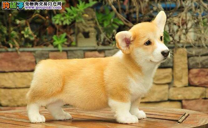 深圳纯种健康柯基犬幼犬转让威尔士柯基终身质保好饲养