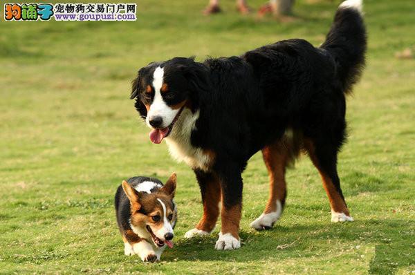 伯恩山贵阳CKU认证犬舍自繁自销终身售后保障4
