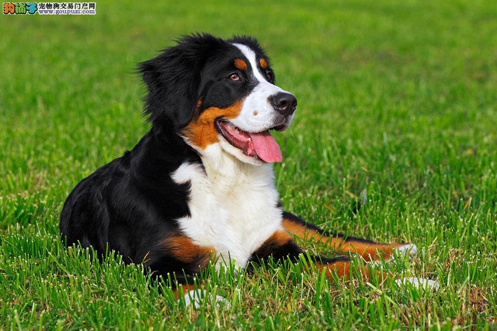 纯种伯恩山幼犬 真实照片保纯保质 全国送货上门