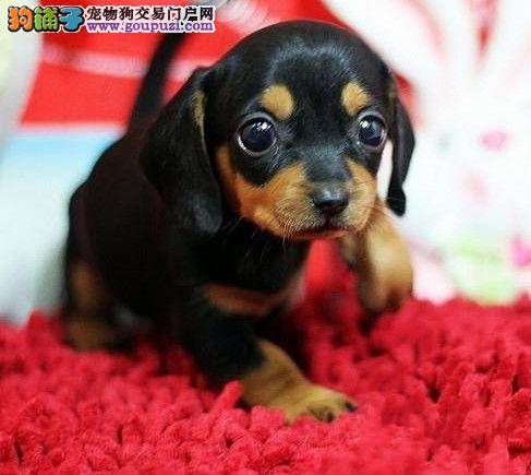 可爱迷你腊肠犬出售 三个月大做齐疫苗 多只可供挑选
