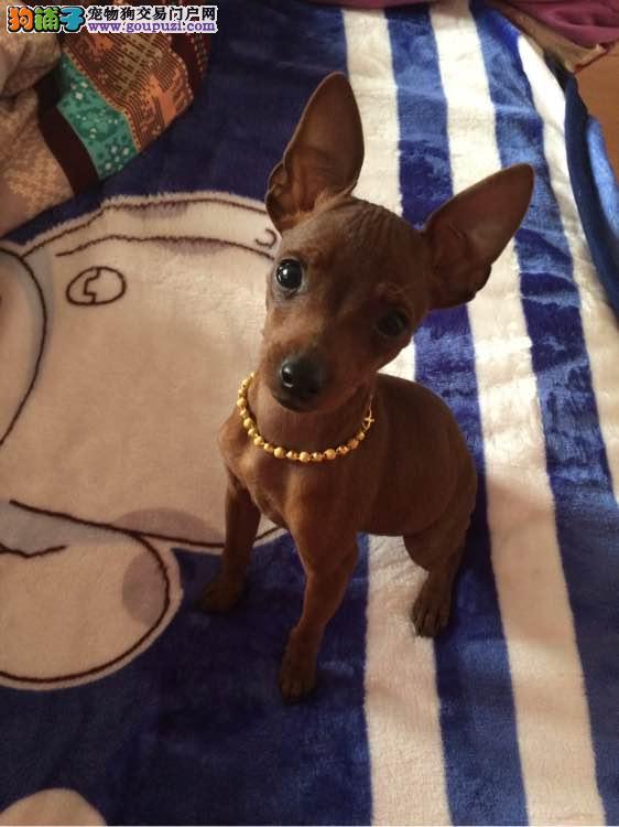 哈尔滨实体店热卖小鹿犬颜色齐全真实照片视频挑选