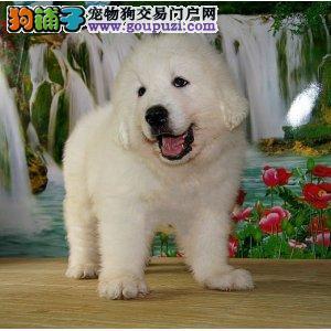 专业基地繁殖狗场直销超可爱保健康大白熊犬出售保健康