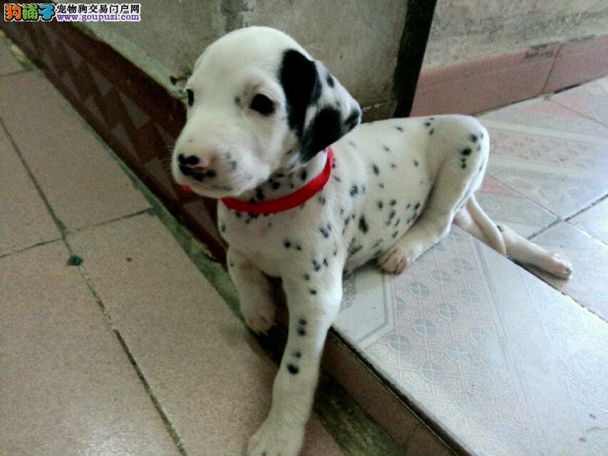 养殖场直销完美品相的斑点狗微信看狗真实照片包纯