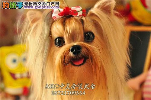 陕西约克夏漂亮迷你犬可视频挑选全国发货