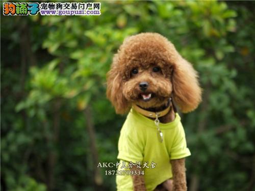 陕西犬舍泰迪专业繁殖小体包纯种全国发货