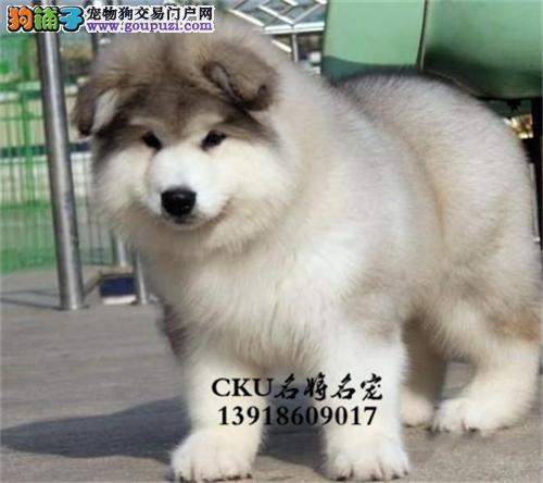 浙江阿拉斯加可爱巨型犬保健康全国发货