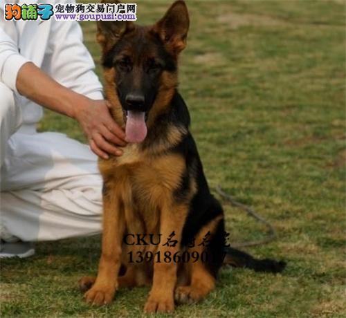 安徽出售德牧低价出售好养小狗狗全国发货