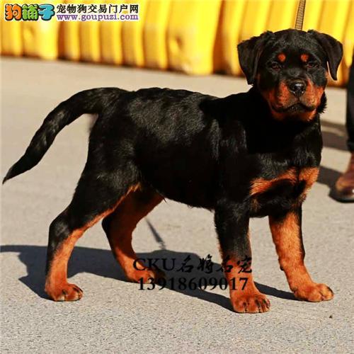 诚信狗狗世界纯种罗威纳幼犬出售