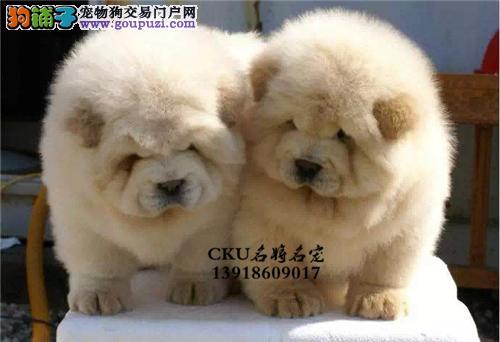 湖南出售松狮乖巧金黄全国发货