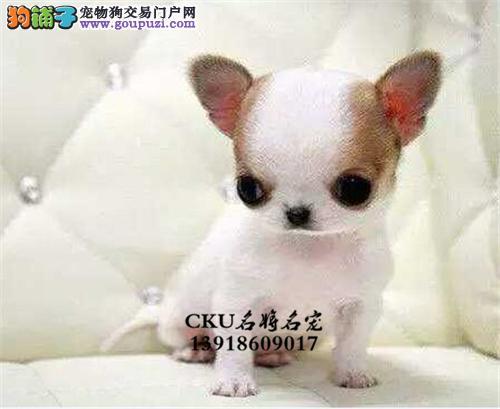 广西吉娃娃精品纯种小犬包纯种全国发货