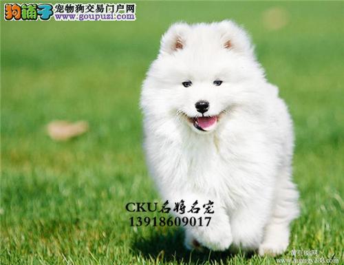 新疆正规犬舍萨摩耶高品质澳版全国发货
