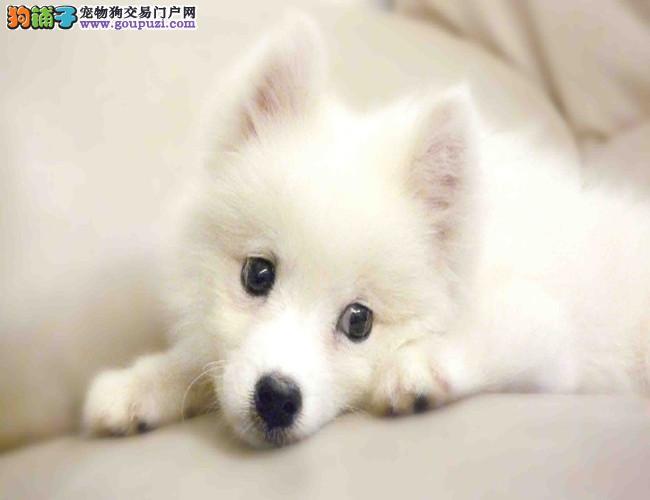 银狐犬出售 哪里出售银狐犬 银狐犬价格