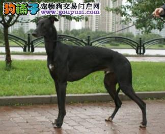 武汉养殖场直销完美品相的格力犬终身完善售后服务1