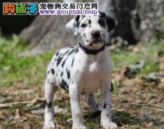 长沙本地出售高品质斑点狗宝宝保障品质售后