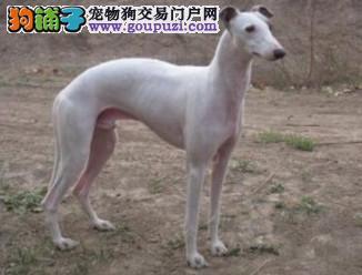 极品格力犬幼犬 公母均有颜色齐全 签订终身合同3