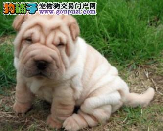 高品质憨厚沙皮犬出售憨厚纯种沙皮犬幼犬价格精神倍棒