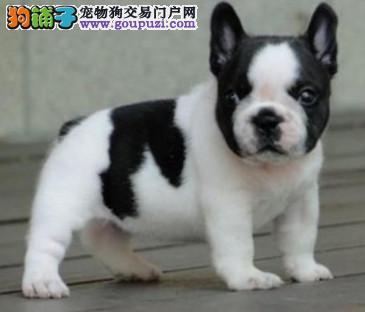 常年出售高品质法国斗牛犬幼犬