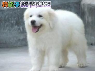 广州狗场 广州大白熊 哪里买狗好 哪里有纯种大白熊
