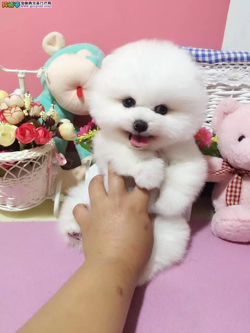 纯种茶杯犬 世界最小 最萌茶杯犬 质保3年健康保证
