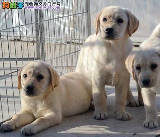 北京高端拉布拉多犬专售/赛级品质/冠军传承外地包邮