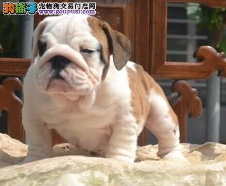南京大型养殖场直销英系法系斗牛犬 有血统可签协议