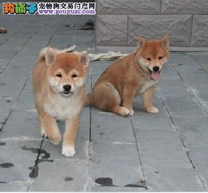 犬舍繁殖,日本柴犬幼犬,三个月包退换 同城可送货上门