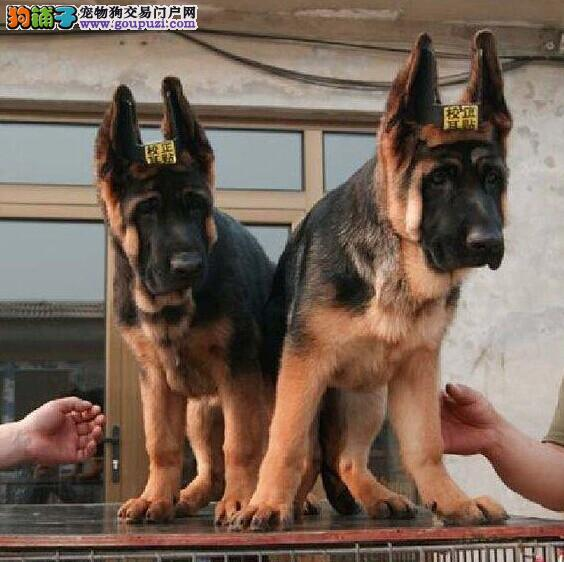 精品锤系德牧幼犬 头版好 结构好 血统好带证书芯片